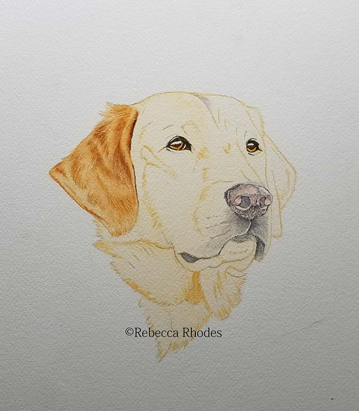 How To Paint A Golden Retriever Dog In Watercolors By Rebecca Rhodes